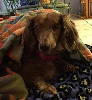 Dachshund Dog for adoption in Pearland, Texas - Lucy Lockhart