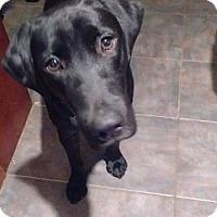 Labrador Retriever Dog for adoption in Darlington, Maryland - Bucca and Finn