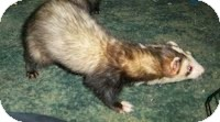 Ferret for adoption in Spokane Valley, Washington - Stash