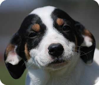 Coonhound Mix Puppy for adoption in Providence, Rhode Island - Caroline