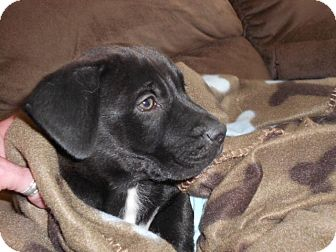 Labrador Retriever/German Shepherd Dog Mix Puppy for adoption in Torrance, California - Buster