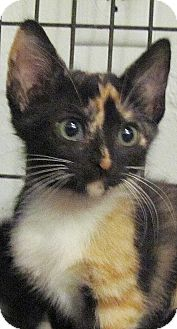 Hemingway/Polydactyl Kitten for adoption in Seminole, Florida - Phoebe