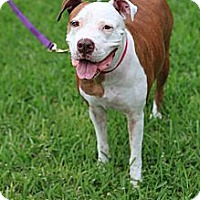 Adopt A Pet :: Maya - Miami, FL