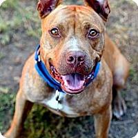 Adopt A Pet :: Luci - Burbank, CA