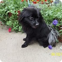 Adopt A Pet :: Daisy Black - Shawnee Mission, KS