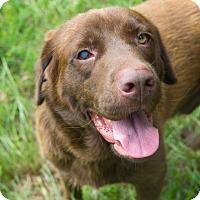 Adopt A Pet :: *Big Brown Bear - PENDING - Westport, CT