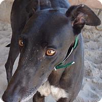 Adopt A Pet :: Gin Fizz Luv - Longwood, FL