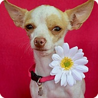 Adopt A Pet :: Tira - Irvine, CA