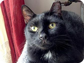 Domestic Shorthair Cat for adoption in Queens, New York - Baby