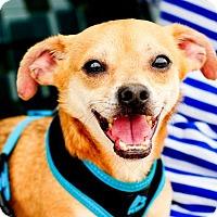 Adopt A Pet :: Devon - Fort Lauderdale, FL