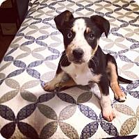 Adopt A Pet :: Griffin - Huntsville, AL