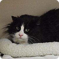 Domestic Longhair Cat for adoption in Denver, Colorado - Senor Gato
