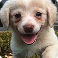 Adopt A Pet :: Roshwen - Thompson's Station, TN