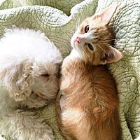 Domestic Shorthair Kitten for adoption in Arlington/Ft Worth, Texas - Henry