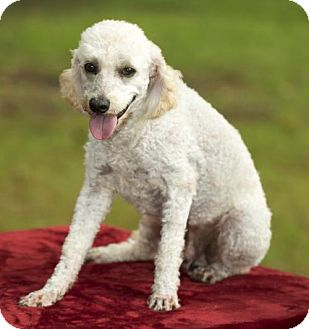 Poodle (Miniature) Dog for adoption in Alvin, Texas - Winston-handsome little man---S