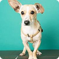 Adopt A Pet :: Radar - currently in foster - Roanoke, VA