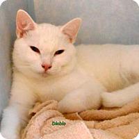 Domestic Mediumhair Cat for adoption in Oskaloosa, Iowa - Diablo
