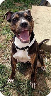 Pit Bull Terrier/Boxer Mix Dog for adoption in Dayton, Ohio - Trejo