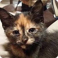 Domestic Shorthair Kitten for adoption in Whitney, Texas - Desdemoia