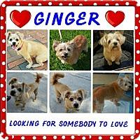 Lhasa Apso Mix Dog for adoption in Palm Harbor, Florida - Ginger