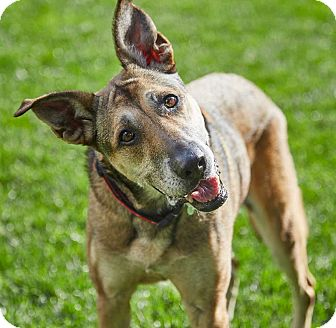 German Shepherd Dog Mix Dog for adoption in Petaluma, California - Kassie