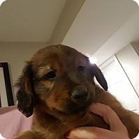 Adopt A Pet :: Butterball - WESTMINSTER, MD