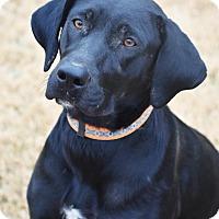Labrador Retriever Mix Dog for adoption in Plainfield, Connecticut - Antonia