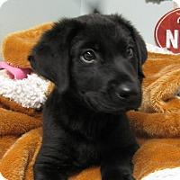 Adopt A Pet :: Bentley - Groton, MA