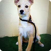 Adopt A Pet :: Terra - Casa Grande, AZ