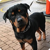 Adopt A Pet :: Mr. Incredible - Austin, TX