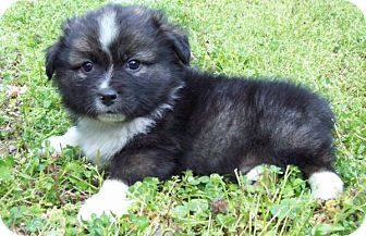 Sheltie, Shetland Sheepdog/Pomeranian Mix Puppy for adoption in Chattanooga, Tennessee - Zach
