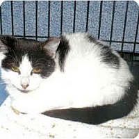 Adopt A Pet :: PrimaVera - Colmar, PA