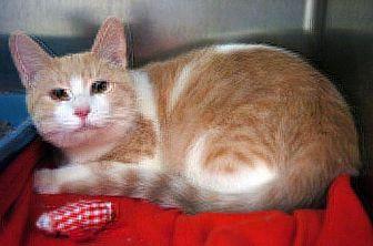 Domestic Shorthair Cat for adoption in Lima, Ohio - Gargamel