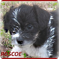 Adopt A Pet :: Roscoe-Adoption Pending - Marlborough, MA