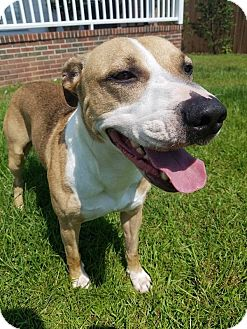 Boxer Mix Dog for adoption in Pittsboro, North Carolina - Leo