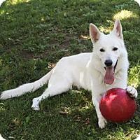 Adopt A Pet :: Sirus (NY) - Hooksett, NH