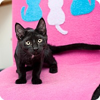 Domestic Shorthair Kitten for adoption in Shelton, Washington - Helen