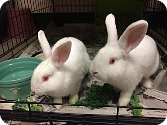 Florida White Mix for adoption in Bellingham, Washington - Hank