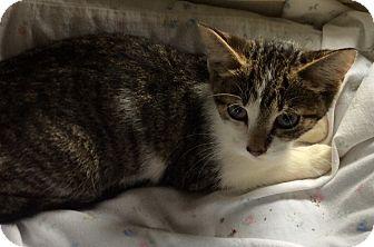 Domestic Shorthair Kitten for adoption in Mt Pleasant, Pennsylvania - BJ
