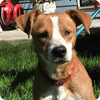 Adopt A Pet :: Joey - St. Charles, IL