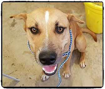 Black Mouth Cur Mix Puppy for adoption in Denver, Colorado - Julian