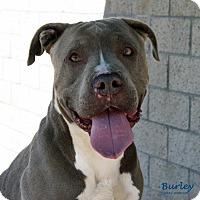 Adopt A Pet :: Burley - Santa Maria, CA