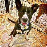 Australian Cattle Dog/Pit Bull Terrier Mix Dog for adoption in New York, New York - Calvin!