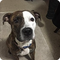 Pit Bull Terrier Mix Dog for adoption in Abbotsford, British Columbia - Deja