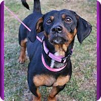 Adopt A Pet :: Doni - Shippenville, PA