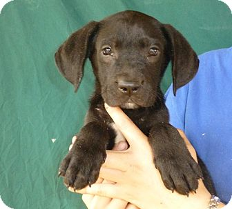 Labrador Retriever/Labrador Retriever Mix Puppy for adoption in Oviedo, Florida - Cammy