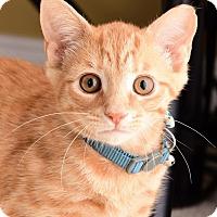 Adopt A Pet :: Simba - Monroe, NC