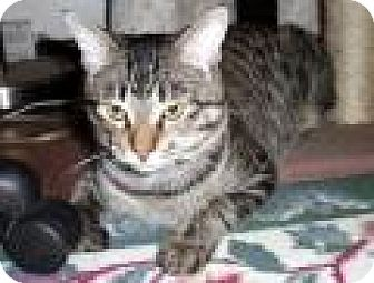 Domestic Shorthair Cat for adoption in Chicago, Illinois - Caramel