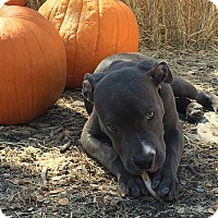 Adopt A Pet :: Lula Belle - Austin, TX