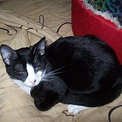 Photo 2 - Domestic Shorthair Cat for adoption in Kelso/Longview, Washington - Ellie
